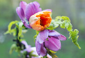 新鮮なラベンダーとオレンジのチューリップと美しい花の王冠ガーランド屋外罪夏の時間
