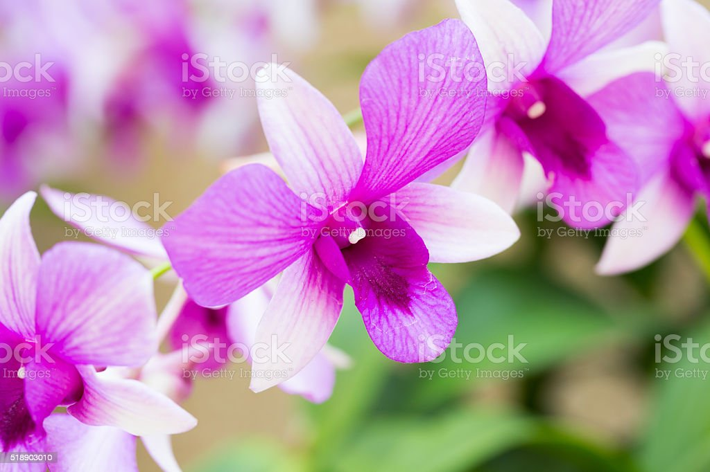 Beautiful flower dendrobium belchim orchids. stock photo