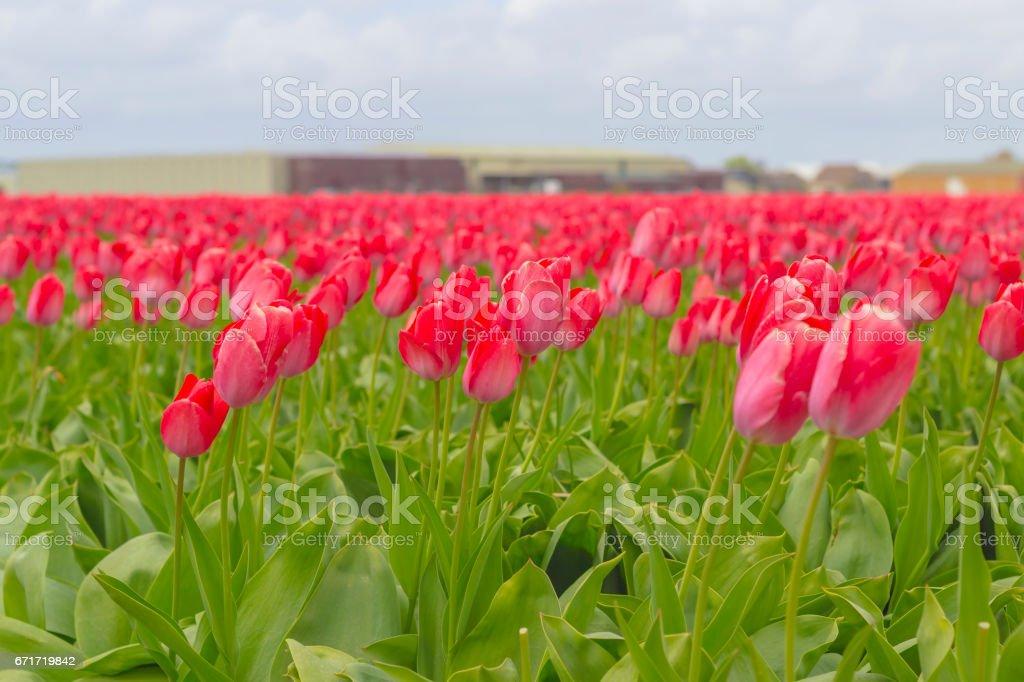 Schöne Blumenwiese Im Frühling In Den Niederlanden Stockfoto Und