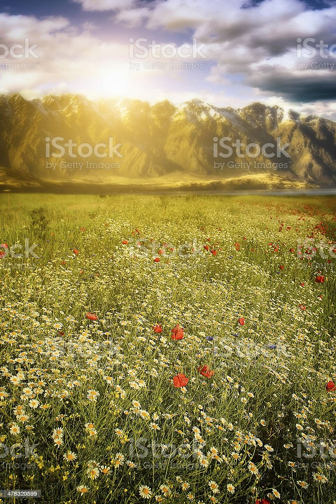 Beautiful flower field with background mountains royalty-free stock photo