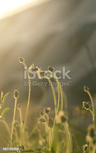 519188550istockphoto beautiful flower grass in relax morning time 492155356