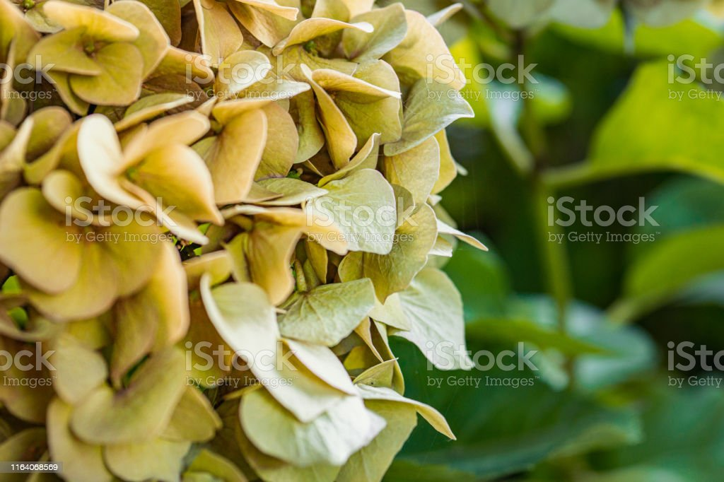 Closeup of hydrangea Hydrangea macrophylla are blooming in spring and...
