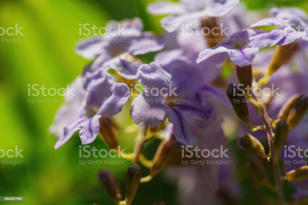 Beautiful flower in Thailand - Zbiór zdjęć royalty-free (Bez ludzi)