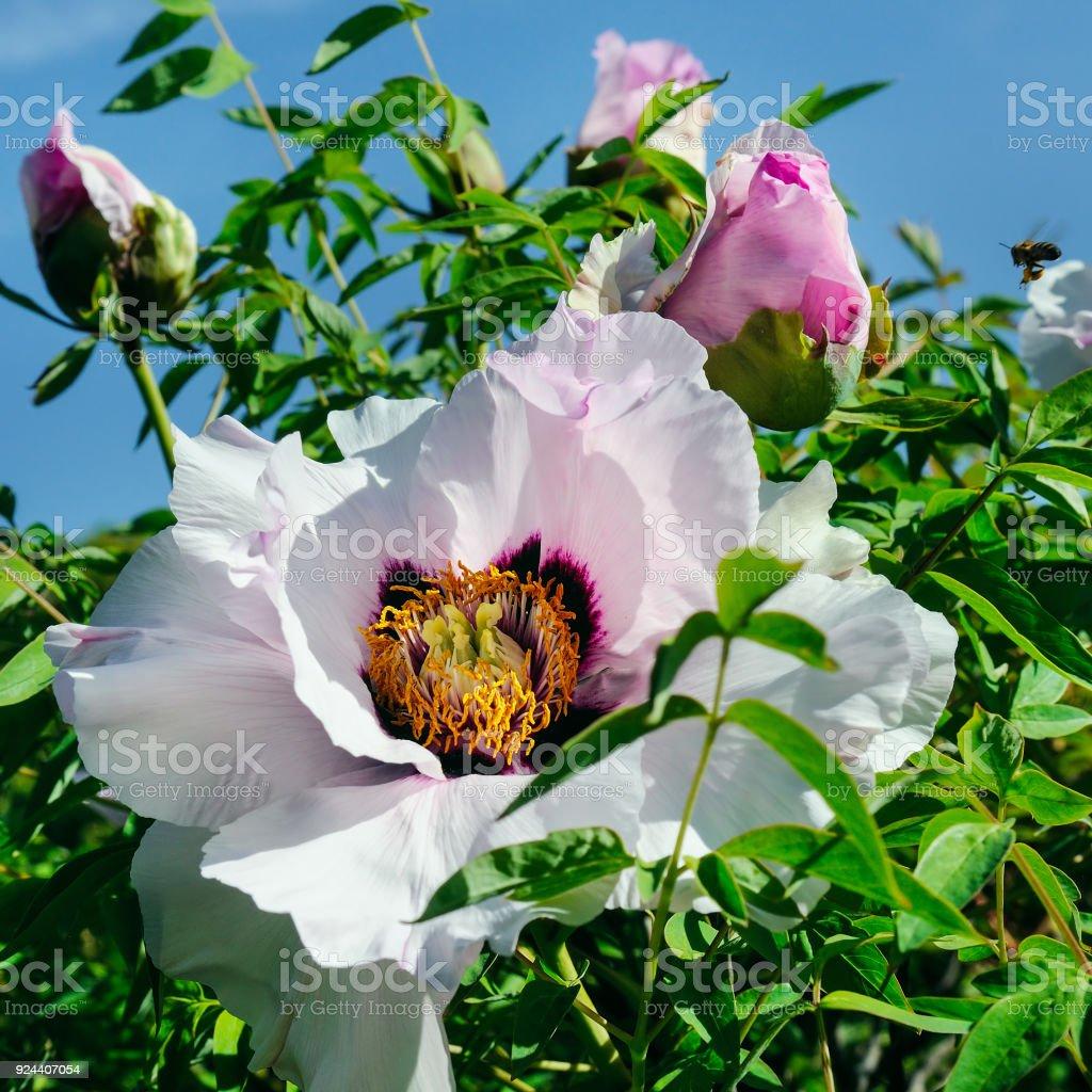 Beautiful Flower Of A Treelike Peony In A Summer Garden Stock Photo
