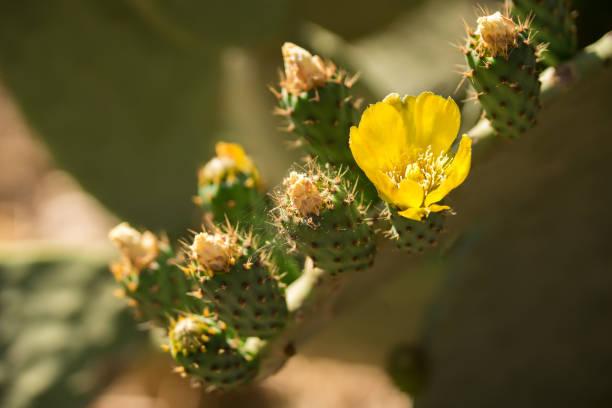 hermosa flor de opuntia ficus-indica o cactus pera se extienden ampliamente a lo largo de sicilia y puglia - opuntia robusta fotografías e imágenes de stock