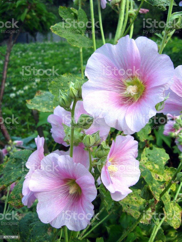 Beautiful Flower Of Pink Mallow Stock Photo 821779816 Istock