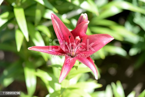 Beautiful flower of red lily in the summer garden