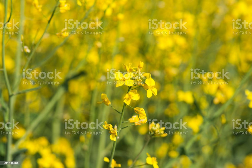 Beautiful flower of the rapeseed closeup royalty-free stock photo