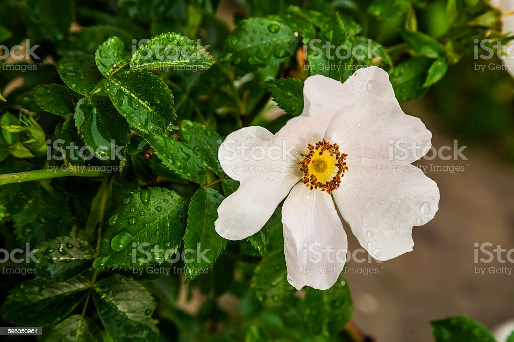 Beautiful flower of wild rose in drops of morning dew. royalty-free stock photo