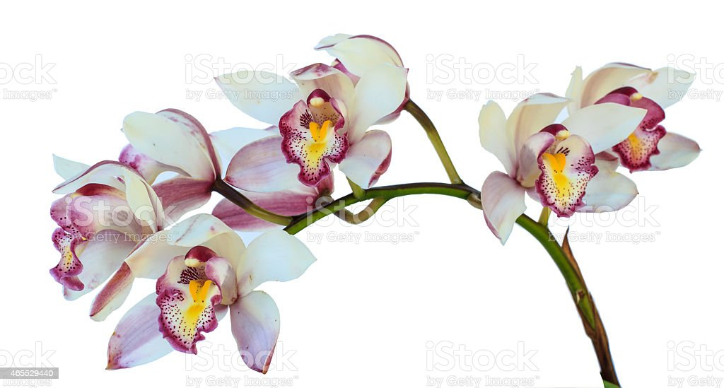 Beautiful Flower Orchid close up isolated on white background stock photo