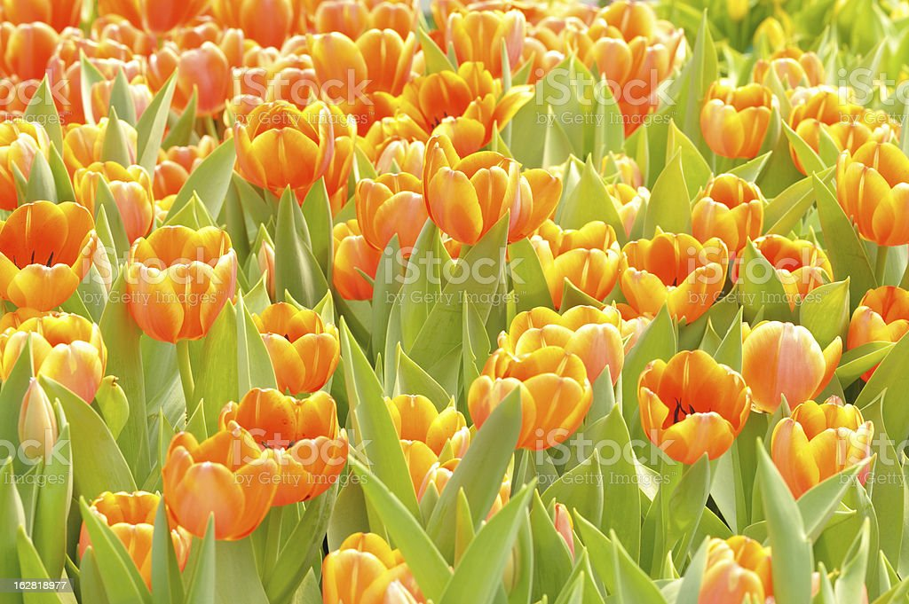 Beautiful  flower tulips in garden royalty-free stock photo