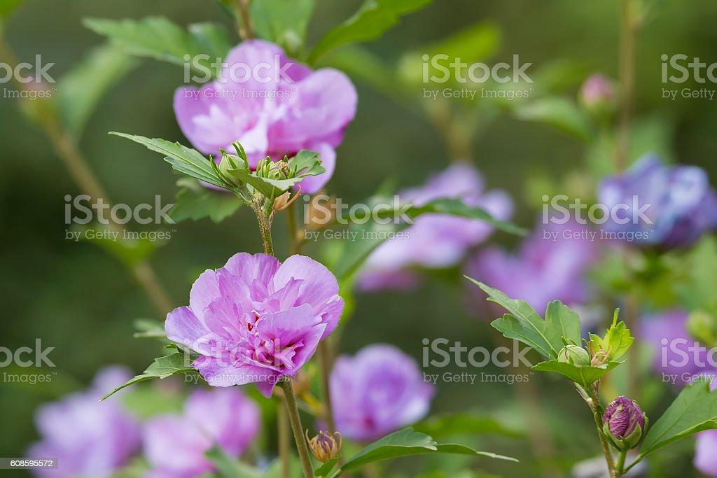 beautiful flower violet hibiscus in garden stock photo