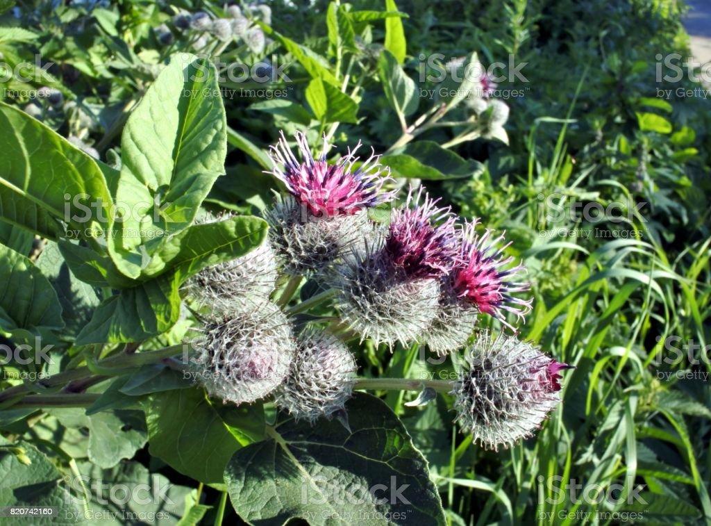 beautiful flowered agrimony - foto stock