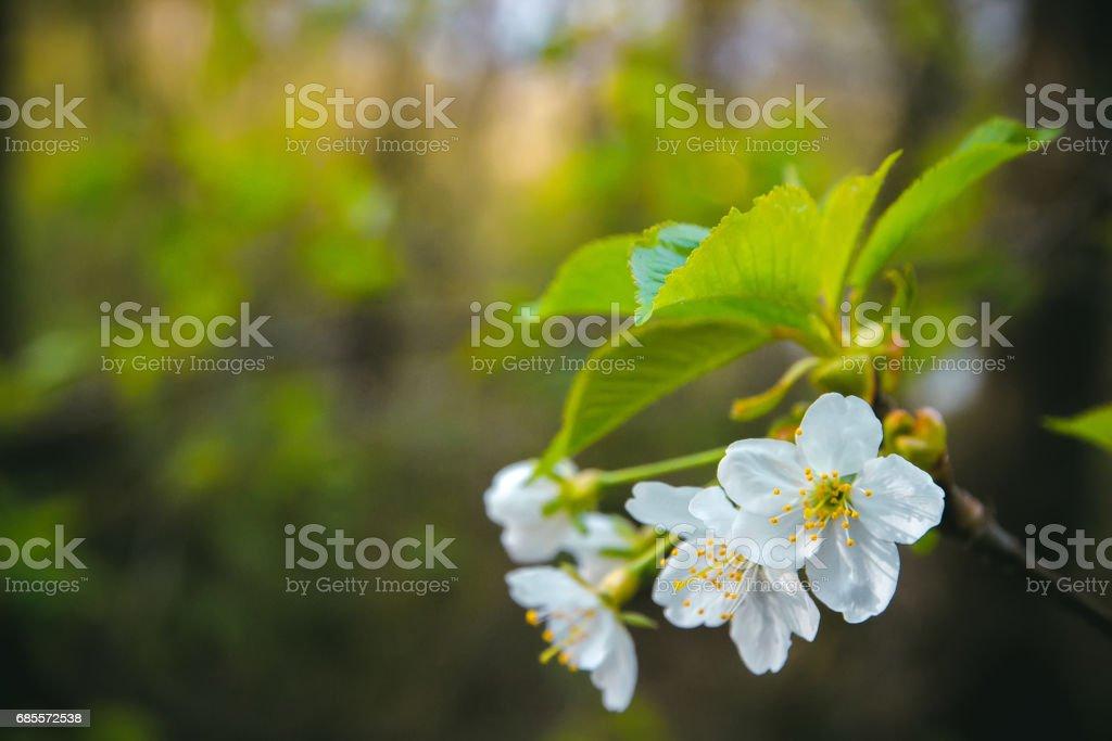 美麗的開花蘋果樹 免版稅 stock photo
