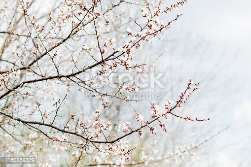 istock Beautiful flowering apricot tree in spring time 1150656329