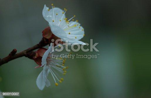 istock beautiful, flowering apricot tree 955310002