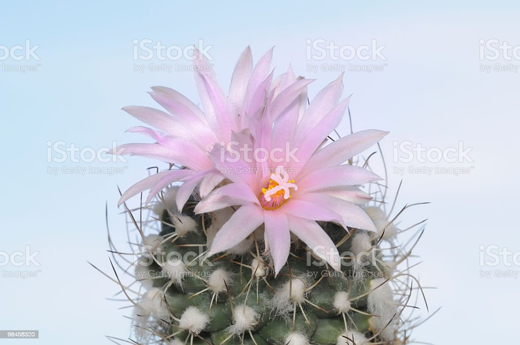 Beautiful flowering cactus onagainst a background of blue sky royalty-free stock photo