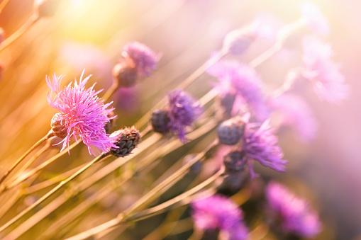 Beautiful flowering flowers in spring - flowering thistle, (burdock)