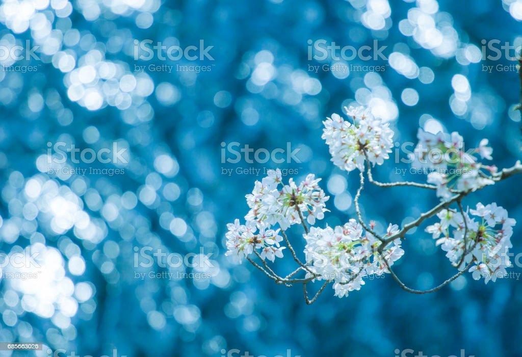 Beautiful flowering Japanese cherry - Sakura. Background with flowers foto de stock royalty-free