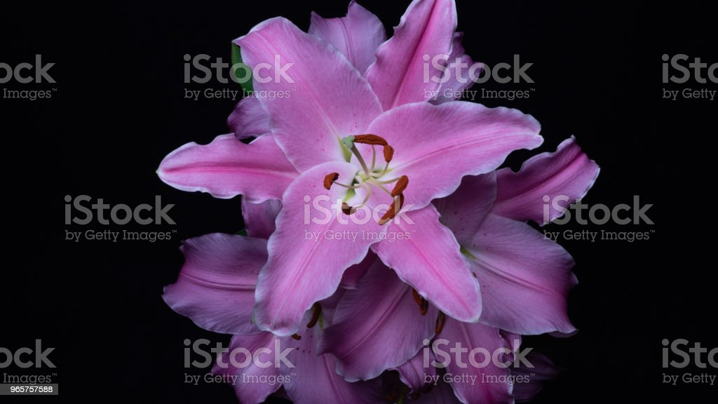 Beautiful flowering lily - Royalty-free Beauty Stock Photo