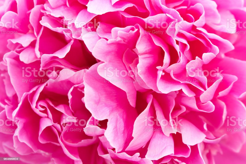 Beautiful flowering peony. Close up. Macro. Conceptual design for greeting card royalty-free stock photo
