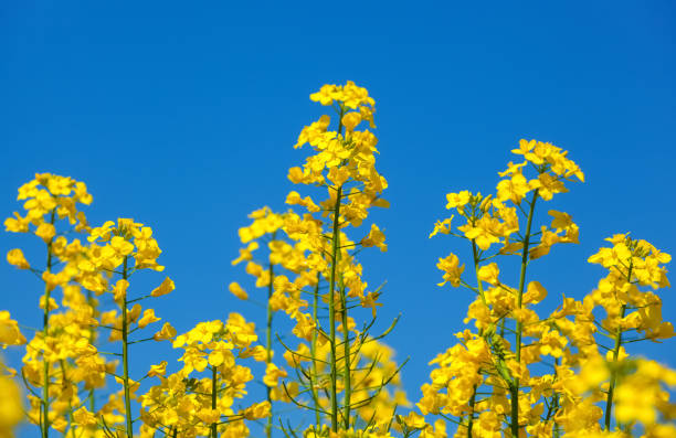 Beautiful flowering rapeseed field Beautiful flowering rapeseed field under the blue, cloudless sky on a clear spring day. oilseed rape stock pictures, royalty-free photos & images