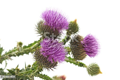 Beautiful flowering thistles isolated on a white background.