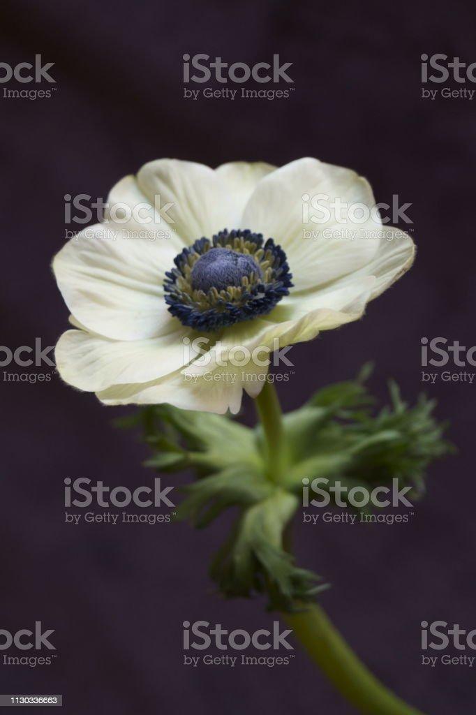 Hermosas Flores Anemone Coronaria Foto De Stock Y Mas Banco De