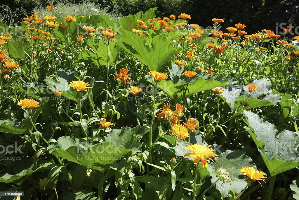 beautiful flowers in amongst the vegetable plot royalty-free stock photo
