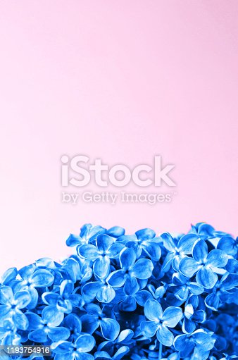 1147995495 istock photo Beautiful flowers in classic blue on a pink background. 1193754916