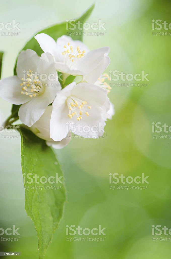 Beautiful flowers of a jasmin, close up. Summer  background royalty-free stock photo