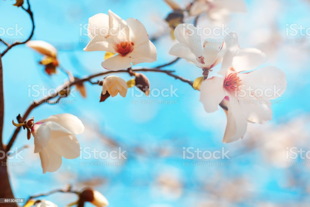 Beautiful flowers of a magnoliin background of the blue sky. Spring background. Selective focus stock photo