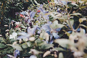 Lilacbush, or purple rock cress flowers (Aubrieta deltoidea)