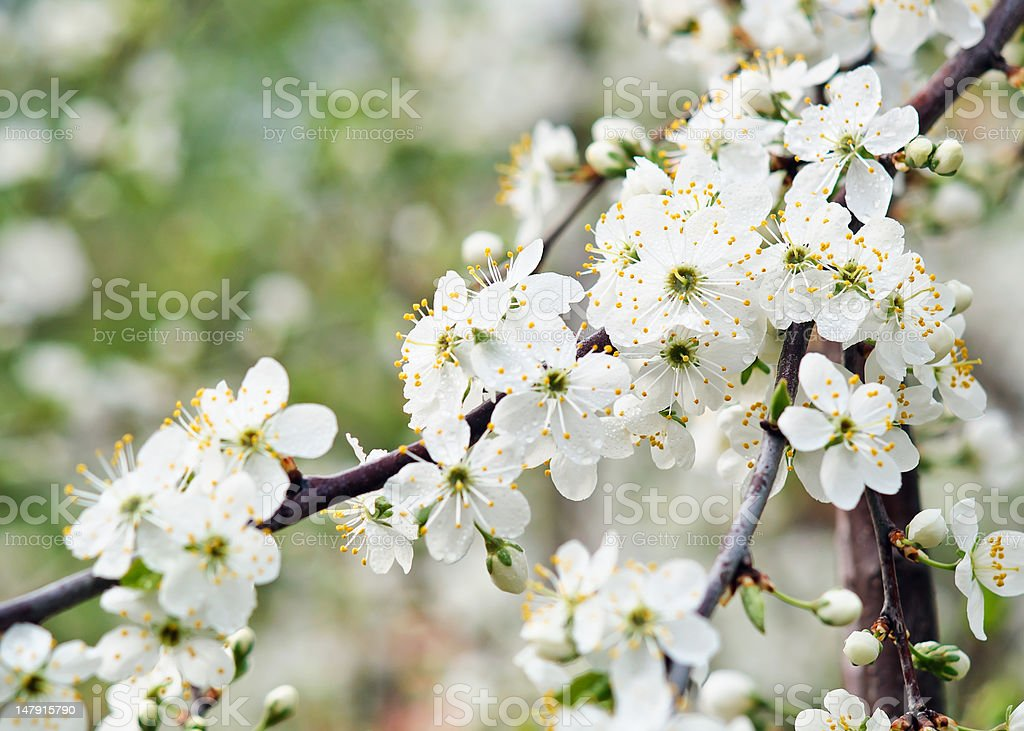 Beautiful flowers of cherry blossom branch royalty-free stock photo