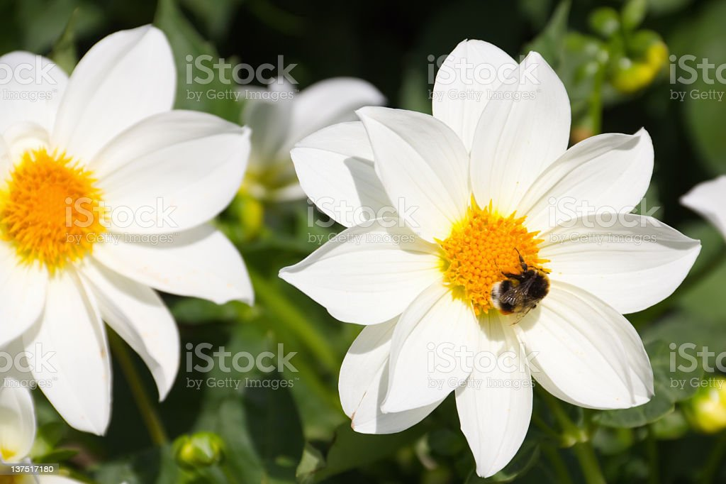 Beautiful flowers of dahlias with bees collect nectar royalty-free stock photo