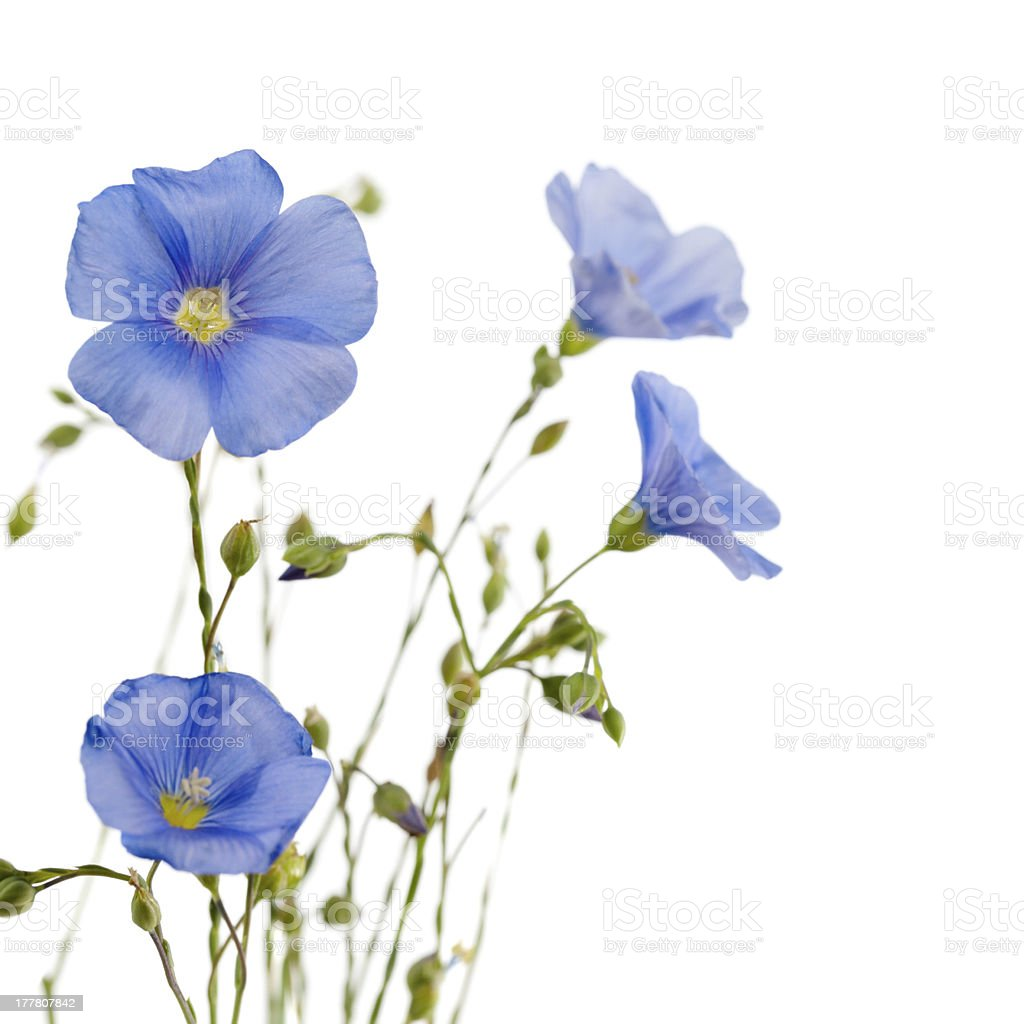 Beautiful flowers of flax royalty-free stock photo