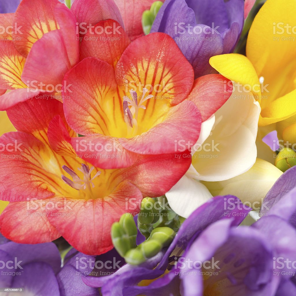 Beautiful flowers of freesia stock photo