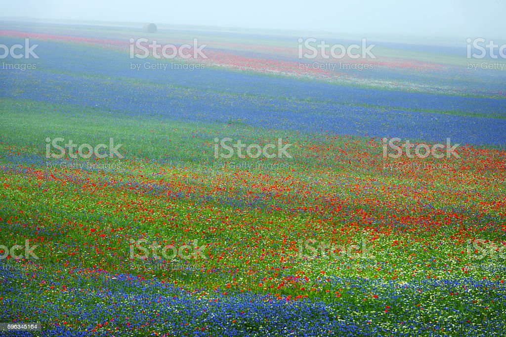Beautiful flowers of the field in the mist, Castelluccio, Italy royalty-free stock photo