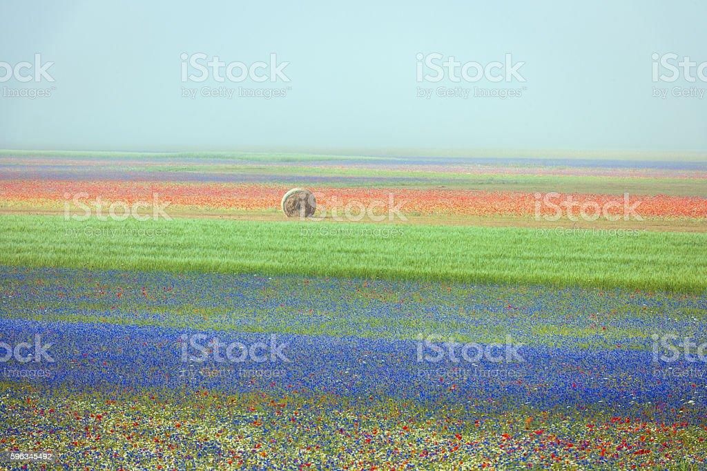 Beautiful flowers of the field in the mist, Castelluccio, Italy Lizenzfreies stock-foto