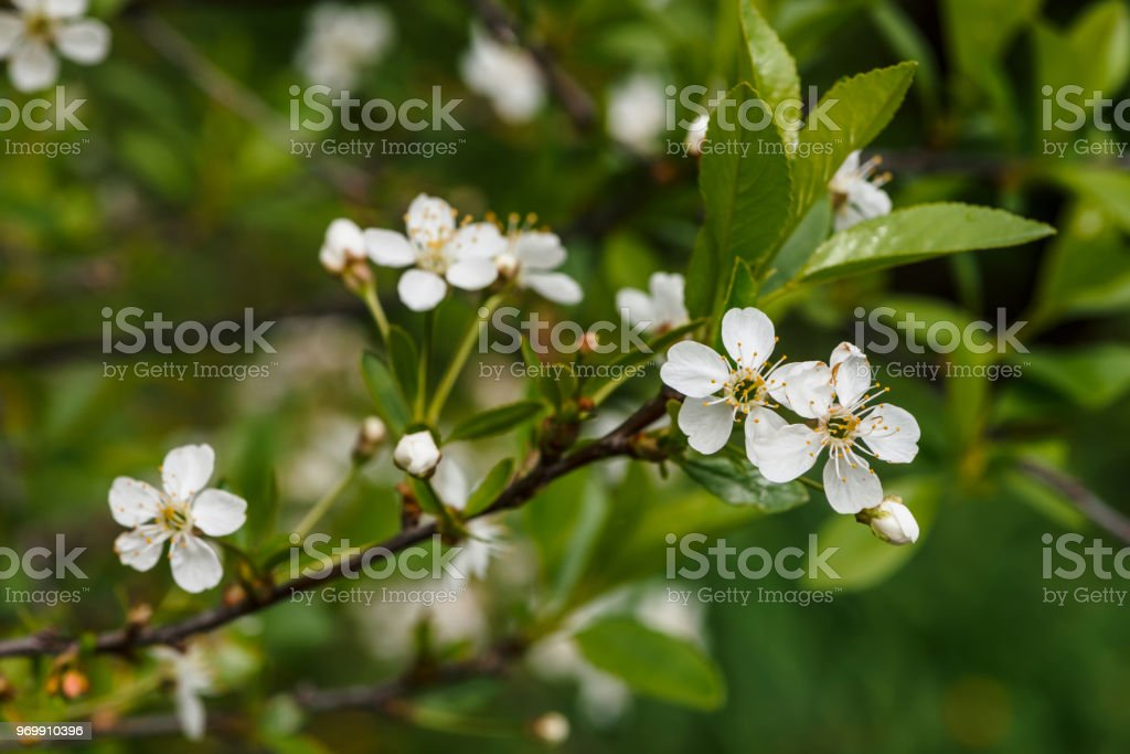 Beautiful flowers of tree cerasus closeup romantic background of beautiful flowers of tree cerasus close up romantic background of branch spring flowers in mightylinksfo