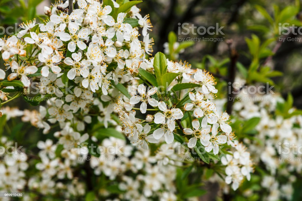 Beautiful Flowers Of Tree Cerasus Closeup Romantic Background Of
