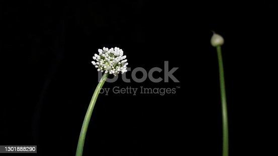 Ball shaped flower of Onion or Allium cepa with black background. Flower umbrella decorative onion allium nutans. Macro
