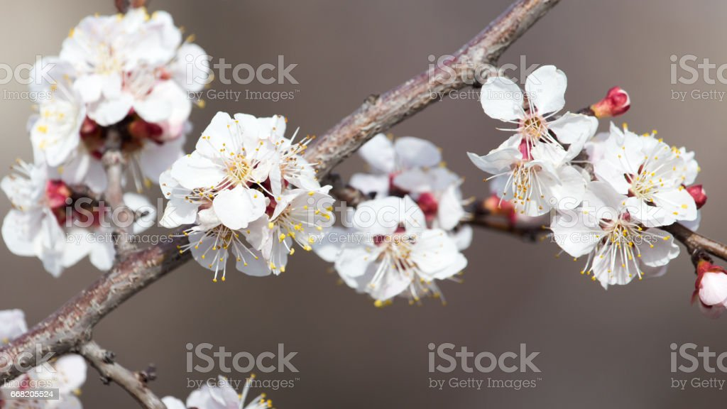beautiful flowers on a tree in spring stock photo