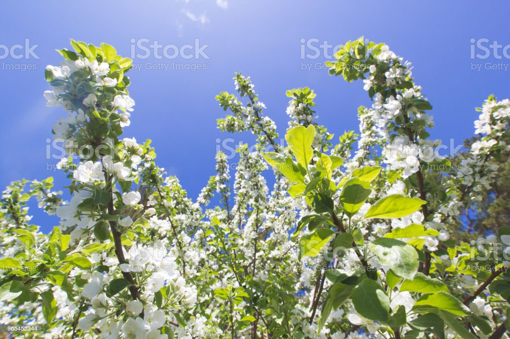 Beautiful flowers on blooming Apple tree at sunlight royalty-free stock photo