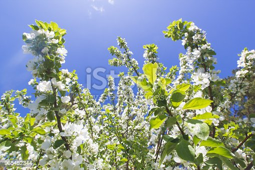 Beautiful Flowers On Blooming Apple Tree At Sunlight Stock Photo & More Pictures of Apple - Fruit
