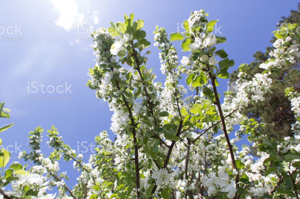 Beautiful flowers on blooming Apple tree at sunlight - Royalty-free Apple - Fruit Stock Photo