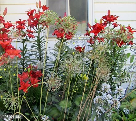 Red lilies and allium seed head outside of house.
