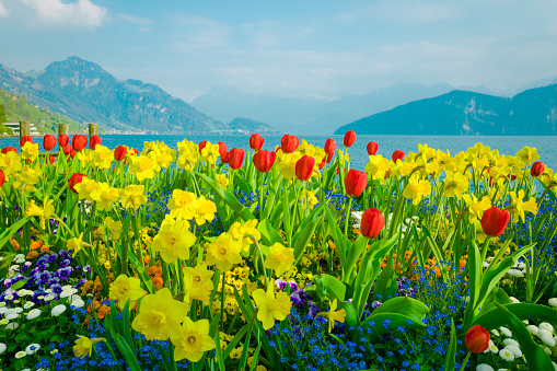 Beautiful flowers over lake Lucerne and mountains background, Switzerland
