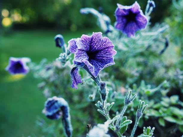 Beautiful flowers purple . stock photo