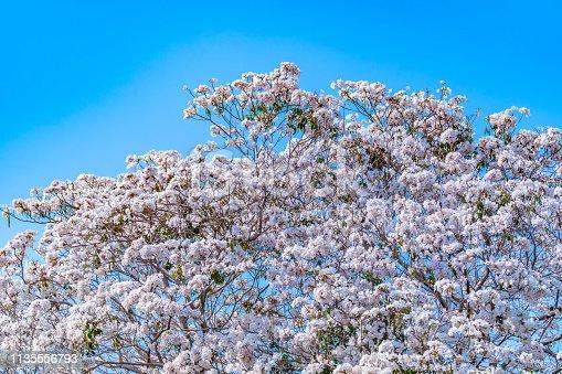 Beautiful flowers Tabebuia rosea  (chomphantip)